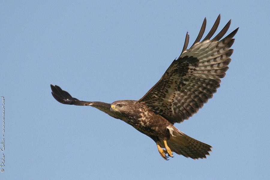http://didier.oiseaux.net