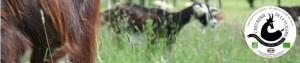 chèvres1